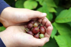 Small Fruits - Gooseberry