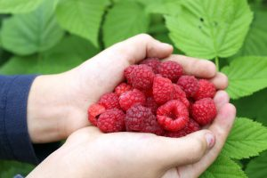Small Fruits - Raspberries