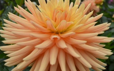 CANCELLED: Cathy Featherby: 'Growing Great Dahlias'