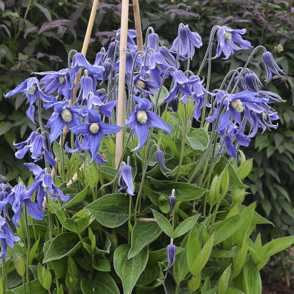 'BLUE RIBBONS' CLEMATIS (Clematis integrifolia 'Blue Ribbons') FOR SALE, $5 each