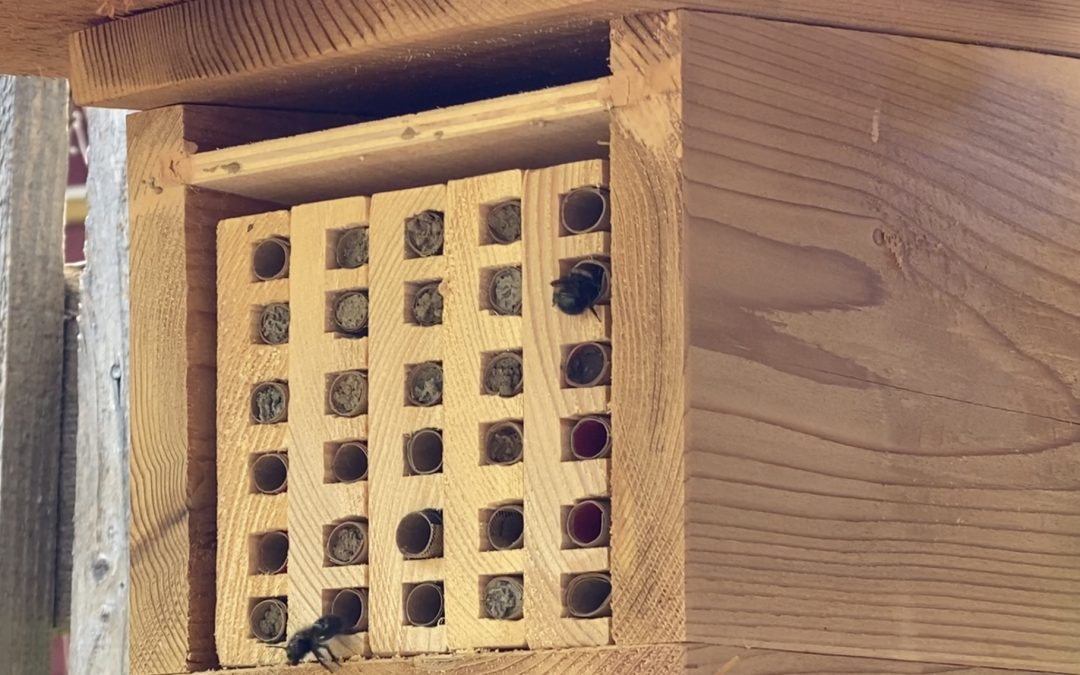 Mason Bee Fun Facts