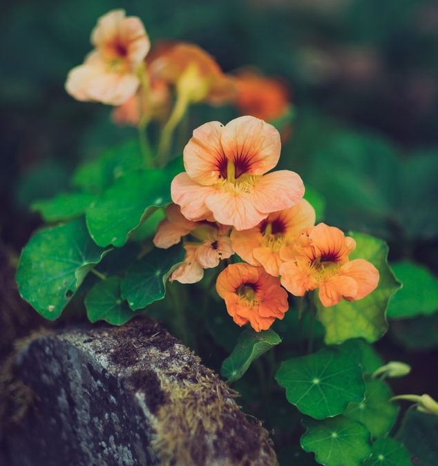 Nasturtiums—not just another pretty flower